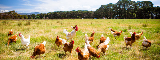 Chickens grazing in a field. Livestock raised without antibiotics can be certified through QAI/NSF's standard.