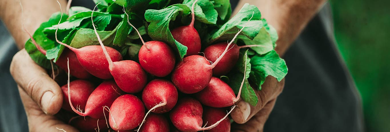 Organic radishes held in a farmer's hands