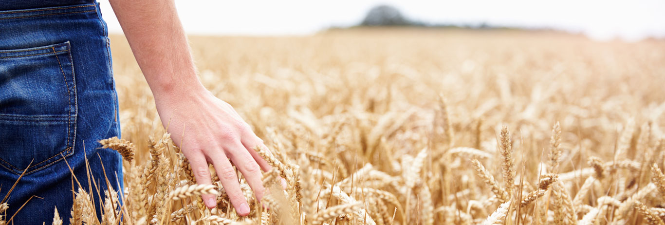 A farmer walks through a QAI Certified Transitional wheat field.