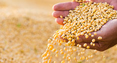 Soybean seeds in hands of farmer